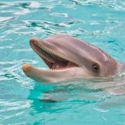 Anna maria Island dolphin